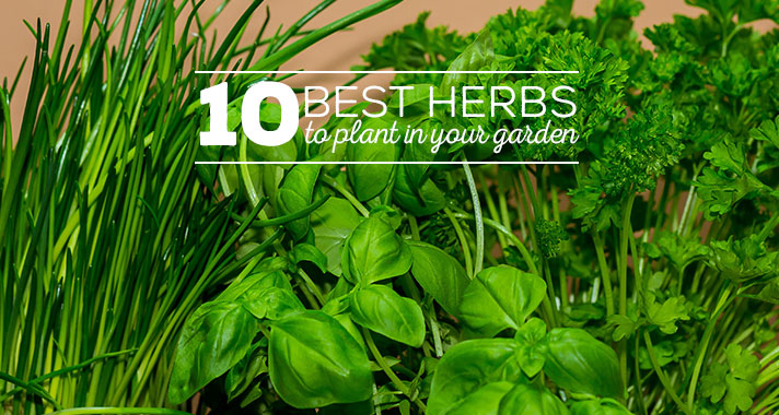 10 Best Herbs to Plant In Your Garden image