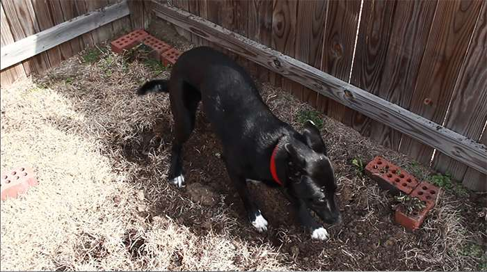 ralph-digging-for-planter-dog